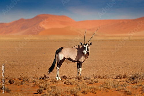 Gemsbok with orange sand dune evening sunset Wallpaper Mural