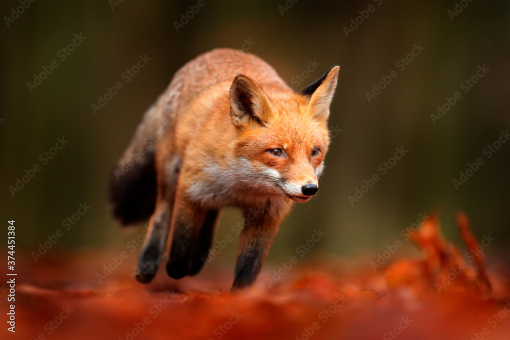 Red fox running on orange autumn leaves. Cute Red Fox, Vulpes vulpes in fall forest. Beautiful animal in the nature habitat. Wildlife scene from the wild nature, Germany Europe. Cute animal in habitat