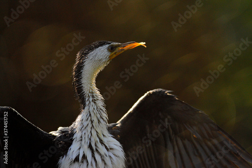 Little Pied Cormorant, Microcarbo melanoleucos, water bird from Australia Wallpaper Mural