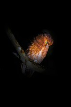 Santa Marta Screech Owl, Megascops Gilesi, Owl In The Family Strigidae, Only From The Sierra Nevada De Santa Marta In Colombia. Rare Endemic Owl Sitting On The Branch In Dark Night. Bird In Habitat.