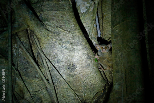 Spectral Tarsier, Tarsius spectrum, portrait of rare nocturnal animal with killed green grasshopper, in the large ficus tree, Tangkoko National Park on Sulawesi, Indonesia in Asia Wallpaper Mural