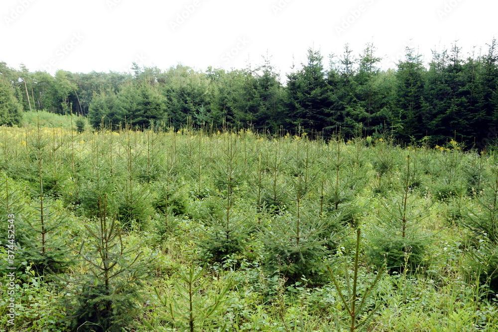 Fototapeta młody las choinek posadzony niedawno