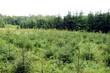 młody las choinek posadzony niedawno