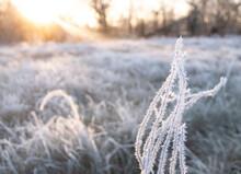 Frozen Grass In The Winter