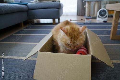 Photo 箱の中で足についたマタタビ粉をなめる猫(マンチカン)