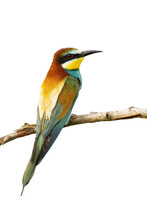 European Bee-eater, Merops Apiaster, Sitting On A Twig Isolated On White Background. Wild Colorful Bird Perched On Branch From Rear View Cut Out On Blank.