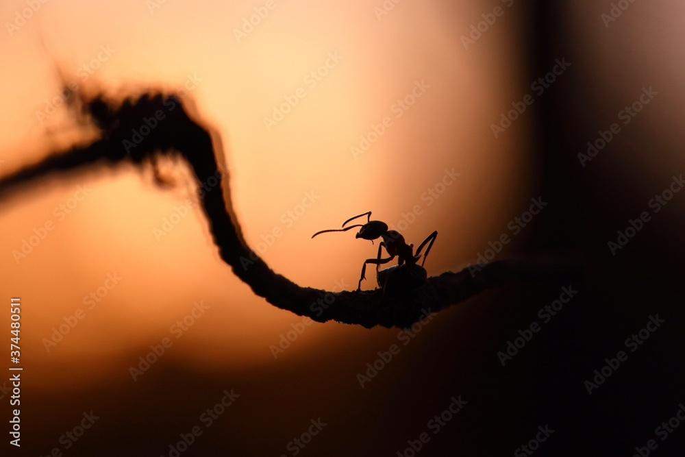 Little wood ant, formica rufa, walking on branch in sunset nature. Silhouette of small insect climbing on rope in evening sunlight. Wild bug outline with copy space.