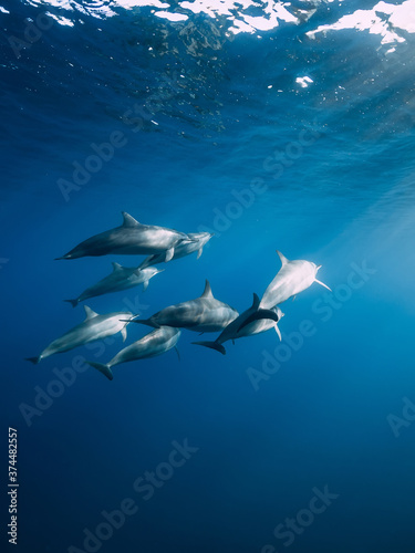 Canvas Print Family of Spinner dolphins in tropical ocean with sunlight
