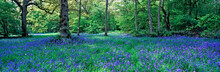 WOODLAND GLADE WITH DISPLAY OF...
