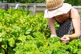 Fototapeta Krajobraz - young woman in the garden tending for kale