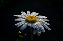 White Daisy With Raindrops Grow In The Garden. Close-up Of Daisy. Flowers With Raindrops