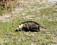 Opossum Animal Stock Photos.  Opossum Close-up Profile View Foraging In The Field Displaying Grey Fur, Body, Head, Eye, Pink Nose, Tail, Feet, In Its Environment And Habitat.