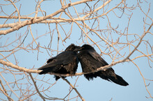 Raven Stock Photos.  Raven Couple Perched, Kissing, Close-up Profile View With A Blue Sky Background In Its Surrounding And Environment Displaying Their Black Feather Plumage, Beaks, Eyes, Feet. Love.