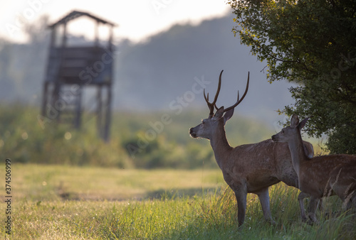 Red deer and hind walking in forest Fototapet