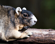 Fox Squirrel Stock Photos. Fox Squirrel Head Close-up With A Blur Background Resting On A Branch And Enjoying Its Habitat And Environment. Portrait. Picture. Image.