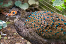 The Malayan Peacock-pheasant (Polyplectron Malacense) Is A Medium-sized Pheasant Of The Galliform Family Phasianidae. Their Plumage Is Generally Pale Brown With Small Black Spots And Bands All Over,