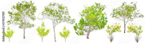 Eucalyptus tree set pictures On a white background