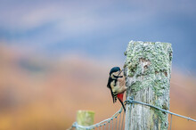 Wild, Greater Spotted Woodpecker, Dendrocopos Major, Perching On A Lichen Covered Fencepost In The Scottish Highlands.