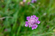 A Closeup Shot Of  Purple Pincushions Flower