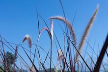 Crabgrass Flowers On Blue Sky ...