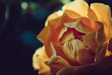 Peach Colored Rose Close Up