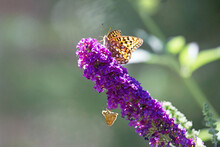 Original Photograph Of A Fritillary Butterfly And A Moth Perched On A Purple Bloom Of A Butterfly Bush