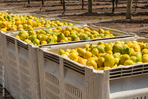 Photo Crates of freshly picked lemons ready for shipping, in the Salinas Valley of cen