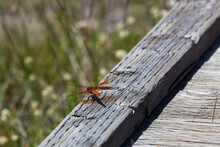 Flame Skimmer Dragonfly At Yellowstone National Park