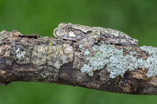 Tree Frog On Mossy Branch