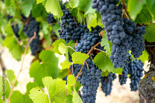 Fotografiet Ripe dark Muscat grapes with leaves background