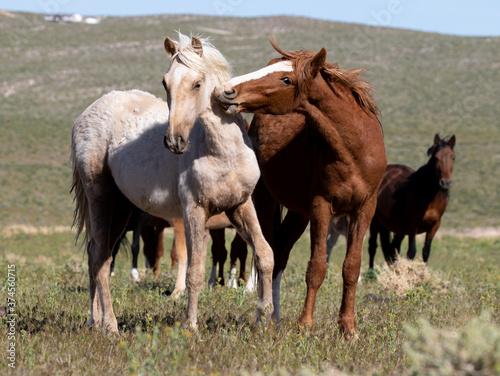 wild herd of horses Canvas Print