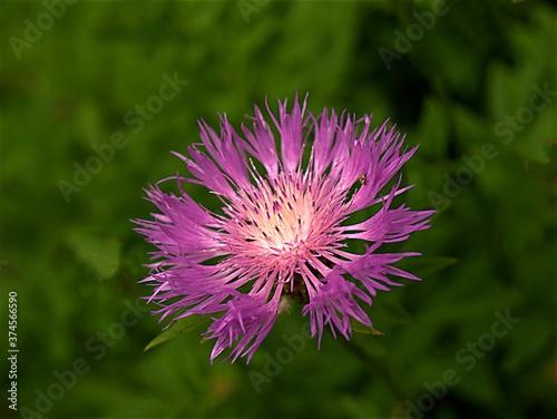 Obraz chaber ogrodowy, piękny kwiat o ciekawej budowie, makro, lato, flora, - fototapety do salonu