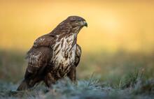 Common Buzzard (Buteo Buteo) C...