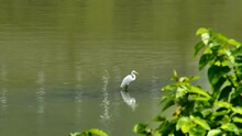 White Little Egret Standing In Shallow River Looking For Food.