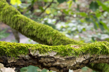 Tree Branch Covered With Moss Closeup
