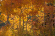 Fall Leaves backlit in the Wasatch Mountains. Rare Orange Aspens.