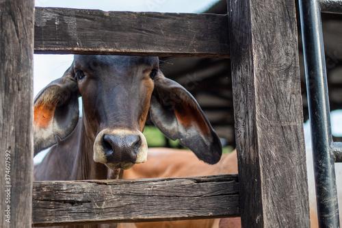 Photo terneros de destete en el corral