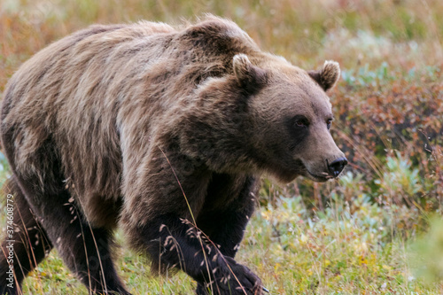 Photo Grizzly bear running in the wind