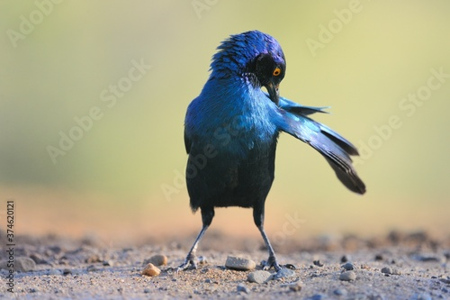 GREATER BLUE EARED STARLING, South Africa Fototapete