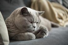 Rounded British Short Hair Cat...