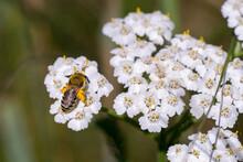 Closeup Of A Wild Bee (prob. Plasterer Bee Colletes Spec.) On Yarrow Flowers (Achillea Millefolium)