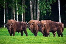 Three Huge Bisons Grazing On Green Meadow With Forest On Background. Belovezhskaya Pushcha National Park, Belarus. It's The Last Primaeval Forest Fragment Of The Europe's Woodlands.