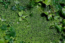 Background From Green Duckweed...