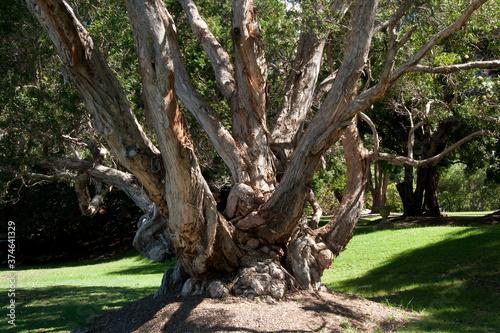 Photo Sydney Australia, tree trunk of an old gnarly Melaleuca leucadendra tree