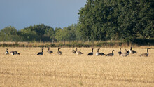 Greylag Geese (anser Anser)resting In A Recently Harvested Wheat Field