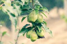 Organic Green Pears Ripe In T...