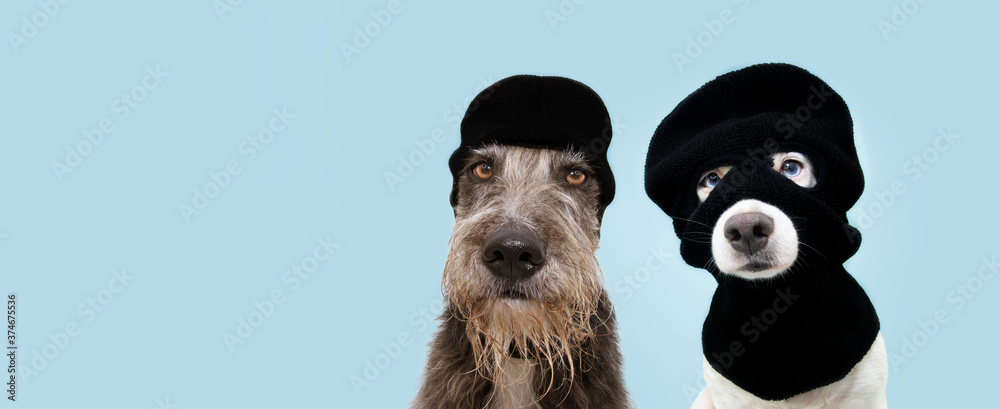Fototapeta Banner funny two pets dog robbers wearing balaclava ski mask. Isolated blue background. Carnival or halloween concept.