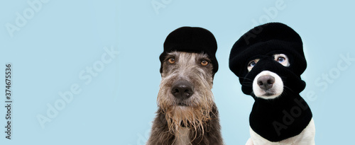 Tablou Canvas Banner funny two pets dog robbers wearing balaclava ski mask
