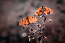Two Butterflies Basking In The...