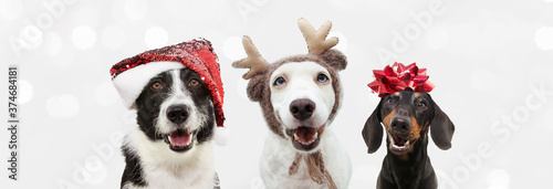 Group of three dogs celebrating christmas with a santa claus and reindeer antlers hat with a red ribbon. Isolated on gray background. © Sandra